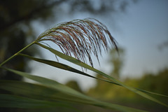 Sensitivity in the wind (François NOËL) Tags: closeup vegetable marsh sunlight summer colors flower seeds foliage beautiful tones countryside otus zeiss otus1428