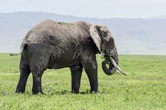 Stuffing his mouth (tmeallen) Tags: large male elephant loxodontaafricana feeding eatingvegetation greengrasses trunkinmouth craterrim wildlife safari ngorongorocrater ngorongoroconservationarea tanzania eastafrica muddy