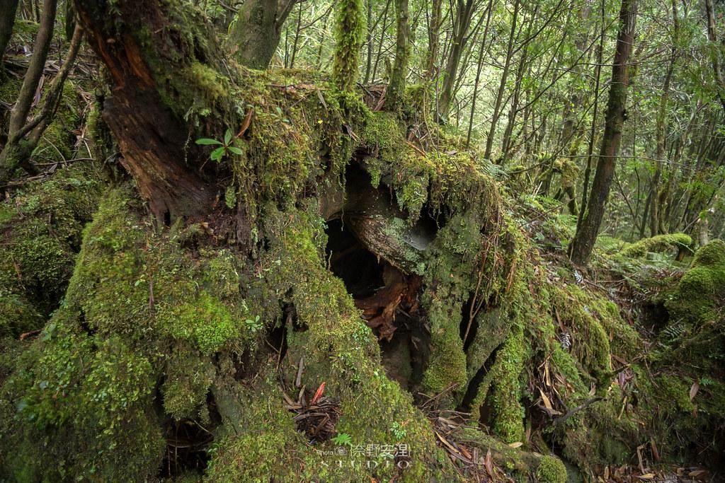 太平山翠峰湖環山步道 |走在泥濘的道路上,只為途中美景 | 宜蘭大同鄉52