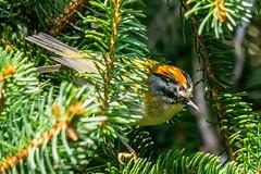 Le petit roi des sapins (Ariège) (PierreG_09) Tags: faune oiseau roitelet seix ariège pyrénées pirineos couserans occitanie midipyrénées roiteletàtriplebandeau regulusignicapilla