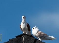 Courtship (Arup De) Tags: pigeons rooftop proposal discussion pet courtship