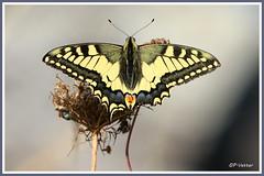 Machaon 180912-01-P (paul.vetter) Tags: papillon lépidoptère insecte butterfly mariposa schmetterling farfalla machaon grandportequeue papiliomachaon papilionidae