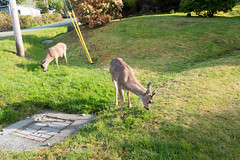 Urban deer on the lawn (quinet) Tags: 2018 britishcolumbia canada vancouverisland vancouver 124