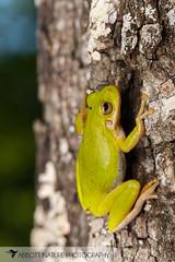 squirrel tree frog (Hyla squirella) 20170506_8929.jpg (Abbott Nature Photography) Tags: organismseukaryotes frogsandtoadsanura vertebratavertebrates neobatrachia animals hylidaetruefrogs amphibiansamphibia philcampbell alabama unitedstates us