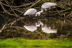 RIFLESSI DI SPATOLE    ----    REFLECTION OF SPOONBILL (Ezio Donati is ) Tags: uccelli birds animali animals acqua water stagno pond alberi trees riflessi reflections italia parcodelticino provinciadipavia