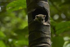 Derby's wooly opossum (Caluromyx derbianus) (pbertner) Tags: rainforest pacificcoastal southamerica colombia jardinbotanicodelpacifico bahiasolano utrianationalpark choco