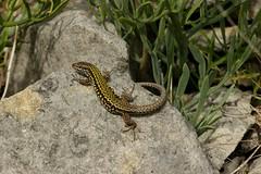 Wall Lizard (farrertracy) Tags: coast summer sunshine green grey quarry dorset reptile walllizard rocks
