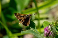 2017 Peck's Skipper (Polites peckius) 2 (DrLensCap) Tags: pecks skipper polites peckius weber spur trail labagh woods chicago illinois il bug insect butterfly rails to trails cook county forest preserve district preserves robert kramer