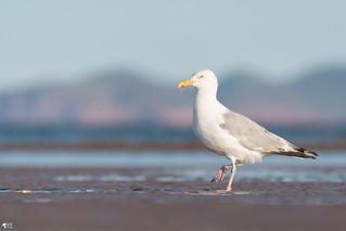 ''Chic de  plage!''Goéland argenté-Herring gull