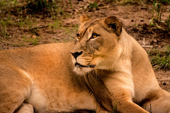 I See You 3-0 F LR 9-16-18 J147 (sunspotimages) Tags: animal animals nature wildlife lion lions femalelion femalelions zoos zoosofnorthamerica zoo nationalzoo fonz fonz2018 bravo