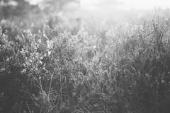 Morgens in der Lüneburger Heide (Gret B.) Tags: morgen morgens früh morgennebel nebel tau heide lüneburgerheide licht morgensonne morgenlicht schwarzweis blackandwhite spinnennetz