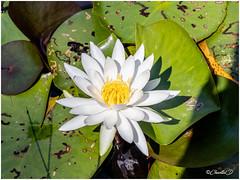 Fleur du nénuphar blanc (didier_chantal49) Tags: blanc couleur fleurs flore jardin nature nenuphar oriental parc venansault paysdelaloire france fr