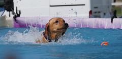 Paddling .. (yvonnepay615) Tags: panasonic lumix gh4 dog allaboutdogs norfolk eastanglia uk coth coth5