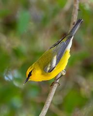 Blue-winged Warbler (PeterBrannon) Tags: bird bluewingedwarbler florida fortdesoto migration nature tampa vermivoracyanoptera wildlife