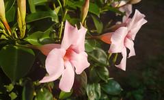 011_20180802_185516 Dipladenia (Fotomouse) Tags: fotomouse margrit blumen blume flowers flower garten garden makro macro blüten blüte blossoms blossom rosa pink