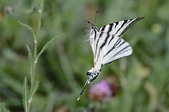 Swallowtail flight (Paul Wrights Reserved) Tags: swallowtail swallowtailbutterfly butterfly butterflyinflight insect insects insectinflight flyinginsects flying flight inflight