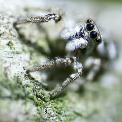 Zebra Jumping Spider (Garry Blackburn) Tags: macro closeup spider jumpingspider zebra tamron90mm sonya77ii