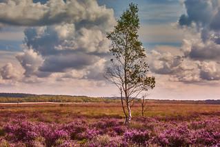 Heath field