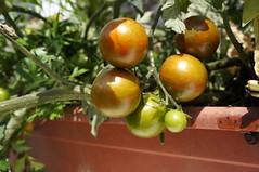 Rot_grün_gestr_kirschtomate (Two_tango) Tags: tomaten tomatoes heirloom garden ernte harvest gemüse food crop veggie