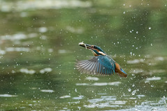 Kingfisher ( Alcedo atthis ) (Steven Whitehead) Tags: kingfisher fishing fish water lake feeding feathers birds wildlife wild nature canon canon1dx canon1dxmk2 500mm 500mmf4 500mmf4is canon500mm 2018