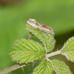 2018_07_0302 (petermit2) Tags: micromoth moth northcavewetlands northcave brough eastyorkshire eastridingofyorkshire yorkshire yorkshirewildlifetrust ywt wildlifetrust wildlifetrusts