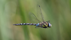 Brown Hawker (brian_stoddart) Tags: nature natural flying flight insects dragonfly