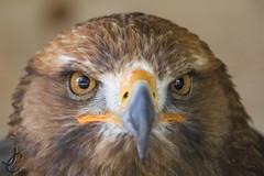 Bird of Prey (Jasmine'sCamera) Tags: bird birdofprey eagle eyes beak fierce herringsgreenactivityfarm