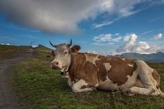 Kuh (Hanspeter Ryser) Tags: berneroberland grindelwald wengen berge eiger mönch jungrau männlichen wandern landschaft natur kuh schweiz switzerland wunderbar art