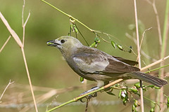 Thraupis palmarum (mazama973) Tags: bird oiseau frenchguiana guyane guyanefrançaise thraupidae thraupispalmarum tangaradespalmiers palmtanager