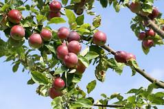 Apfelbaum (apple tree) (HEN-Magonza) Tags: botanischergartenmainz mainzbotanicalgardens rheinlandpfalz rhinelandpalatinate deutschland germany flora apfel apple frucht fruit apfelbaum appletree