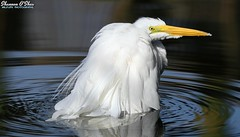 Ring around the tub (Shannon Rose O'Shea) Tags: shannonroseoshea shannonosheawildlifephotography shannonoshea shannon greategret egret bird beak feathers white water bluewater rings lores bathing birdbath bath ardeaalba yelloweye wings alligatorbreedingmarshandwadingbirdrookery gatorland orlando florida gatorlandbirdrookery rookery colorful outdoors outdoor fauna nature wildlife waterfowl art photo photography photograph wild wildlifephotography wildlifephotographer wildlifephotograph flickr wwwflickrcomphotosshannonroseoshea camera canon canoneos80d canon80d eos80d 80d canon100400mm14556lisiiusm femalephotographer girlphotographer womanphotographer shootlikeagirl shootwithacamera throughherlens