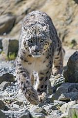 Villy coming towards me... (Tambako the Jaguar) Tags: snowleopard big wild cat male portrait coming approaching walking pacing rocks stones grass determined zürich zoo switzerland nikon d5