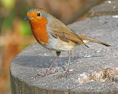 Robin (eric robb niven) Tags: ericrobbniven scotland dundee scottish robin wildlife wildbird nature tentsmuir springwatch