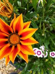 Flower (daveandlyn1) Tags: flower daisy🌼 orange petals dof depthoffield huawei p8lite2017 pralx1 smartphone cameraphone