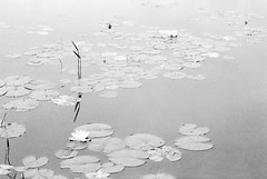 Floatin' (george.bremer) Tags: caffenolcl canada f3 floating flowers fomapan400 homeprocessed lake lilypad margaretlake nikon opticfilm120 scan summer vuescan water