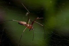 Right Side Up - _TNY_7177 (Calle Söderberg) Tags: macro canon canon5dmkii canonef100mmf28usmmacro canoneos5dmarkii 5d2 flash meike mk300 glassdiffusor raynox dcr250 linyphia triangularis commonhammockweaver ängsbaldakinspindel linyphiidae täckvävarspindel web spider spindel spindelnät spiderweb f22 araneae arachnida