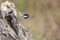Parus ater (LdrGilberto) Tags: chapim carvoeiro coal tit parus ater bird ave nature natureza wild free hide periparusater parusater coaltit
