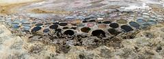 Colorful Exposed Tilapia Nests at the Salton Sea (slworking2) Tags: saltoncity california unitedstates us circular water seawater saltwater shallow circles tilapia nesting nests fish round lake saline bacteria algae saltonsea desert