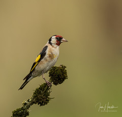 Goldfinch (Ian howells wildlife photography) Tags: ianhowells ianhowellswildlifephotography nature naturephotography nationalgeographic wildlife wildlifephotography wales wild wildbird goldfinch