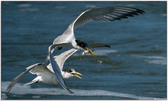 The chase is on... (Mykel46) Tags: bif birds nature wildlife sony a9 100400mm fast water fishing flight sea