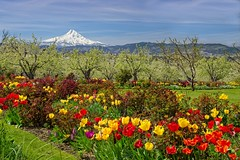 Garden Orchard Mt Hood 7714 A (jim.choate59) Tags: mthood oregon mountain jchoate on1pics spring tulips flowers hoodriveroregon rural orchard trees landscape