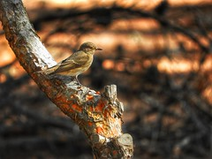 a cute personality (panoskaralis) Tags: finch bird cute nature forest wood trees pine lesvos lesvosisland mytilene greece greek hellas hellenic outdoor zoom nikonb700 nikon nikoncoolpixb700