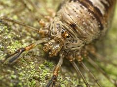 dicranopalpus_ramosus_harvestman__1210159 (jswildlife) Tags: jswildlife macro olympusmacrolens60mmf28 lumixgx8 m43 oxfordshire abingdon opilliones harvestman dicranopalpusramosus invertebrates arachnidaea arachnid raynox250