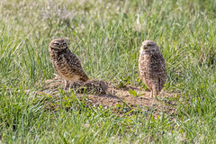 Burrowing Owls (scrappydoggy) Tags: a7riii a7r3 sony 100400 100400mm wildlife bird birds avian critters animal owl burrowingowl