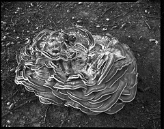 grand champignon au pied d'un vieux chêne. (JJ_REY) Tags: champignon mushrom arbre tree film largeformat 4x5 fomapan100 rodinal toyofield 45a sironarn 150mmf56 epson v800 bennwihr alsace france