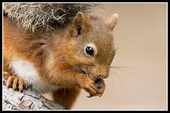 IMG_0138 Red Squirrel (Scotchjohnnie) Tags: redsquirrel sciurusvulgaris squirrel squirrelphotography mammal rodent wildanimal wildlife wildlifephotography wildandfree nature naturephotography naturewildlifeandbirds canon canoneos canon7dmkii canonef70200mmf28lisiiusm scotchjohnnie