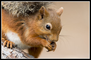 IMG_0138 Red Squirrel