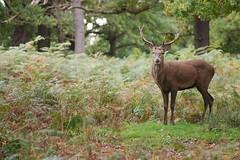 cerf-0073 (philph0t0) Tags: cervus elaphus cerf élaphe red deer cervuselaphus cerfélaphe reddeer stag animal mammifére mamal forêt arbre mammifère