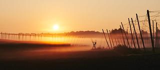 Sonnenaufgang über den geernteten Hopfengärten - Sunrise above the harvested hop fields