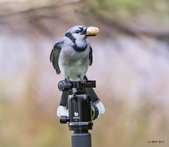 Blue Jay (mjvardy) Tags: blue jay cyanocittacristata nl canada